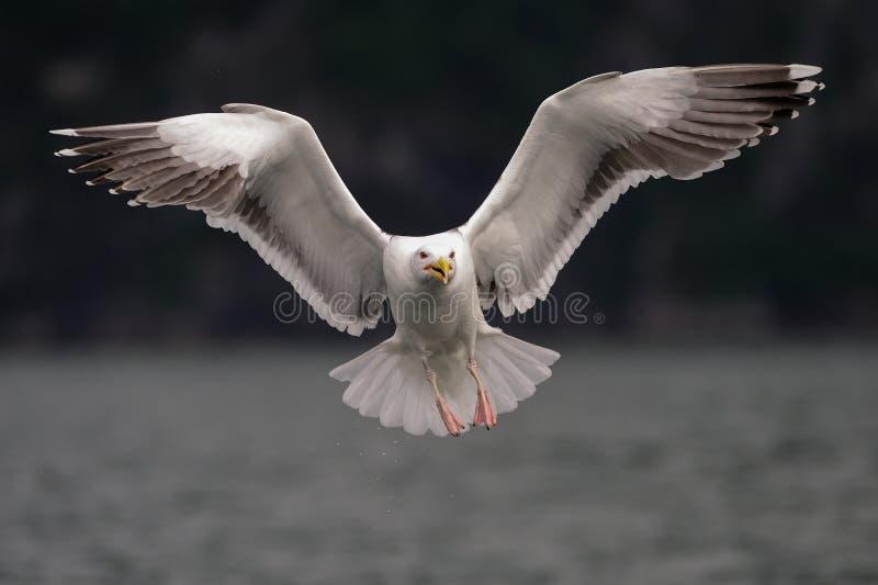 A gaivota suportada grande preto está voando, Noruega imagens de stock royalty free