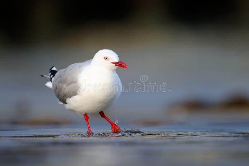 gaivota Vermelho-faturada foto de stock