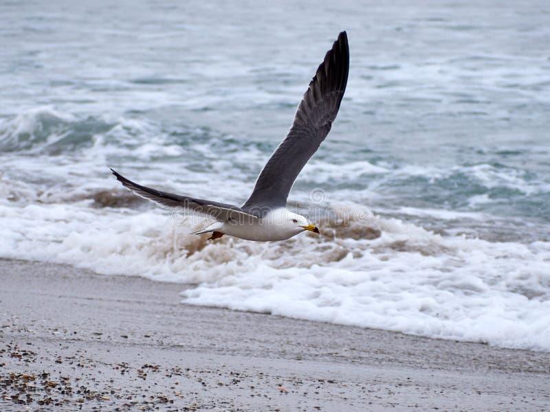 A gaivota voa sobre as ondas fotos de stock