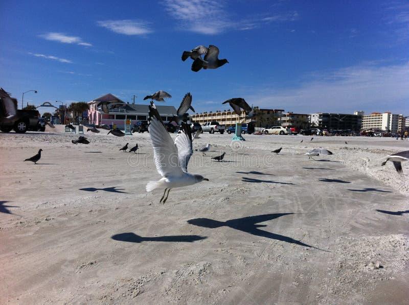 Gaivotas crescentes na praia nova de Smyrna fotos de stock royalty free