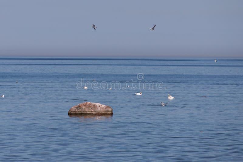 Gaivotas e cisnes no mar Báltico em um dia de verão ensolarado fotos de stock royalty free