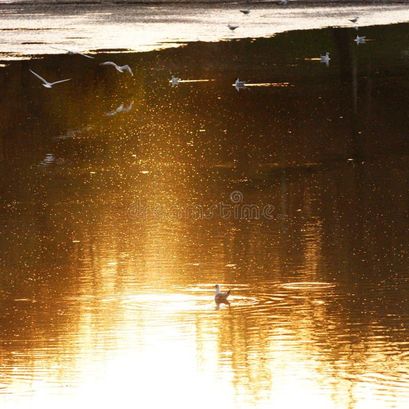 Gaivotas na água no por do sol imagens de stock