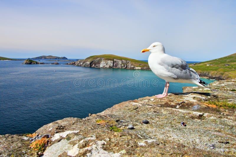 Gaivotas na costa irlandesa do Dingle em Ireland. imagem de stock royalty free