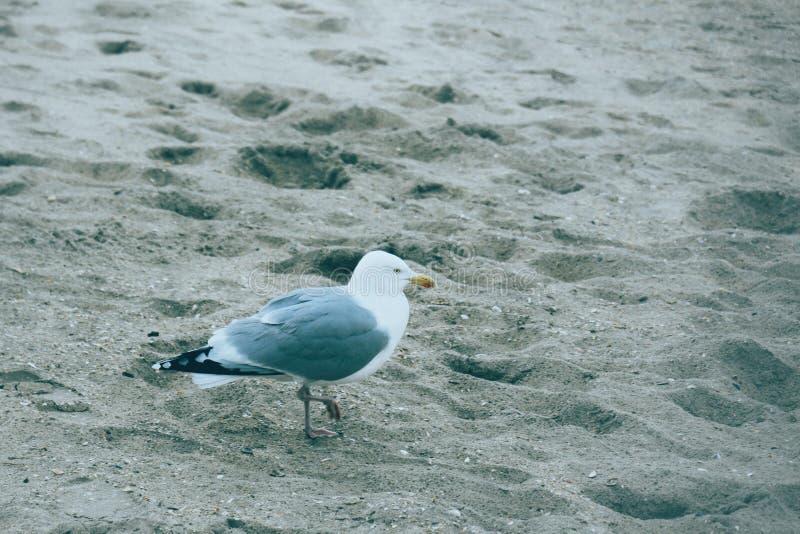 Gaivotas na praia na Holanda fotografia de stock royalty free