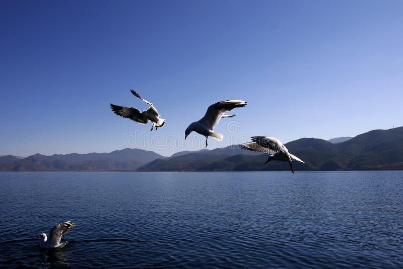 Gaivotas no lago do lugu fotografia de stock