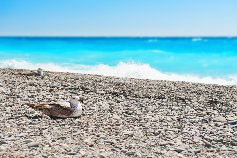 Gaivotas que sentam-se no Pebble Beach perto do mar imagem de stock royalty free