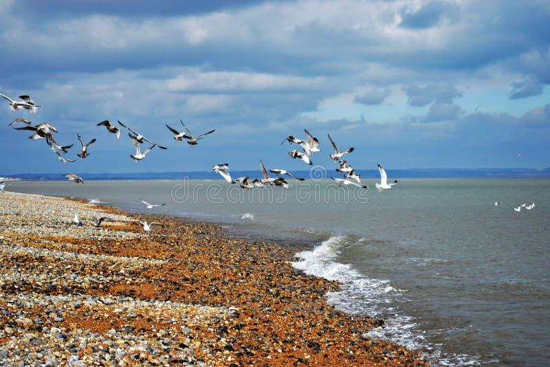 Gaivotas que tomam o voo sobre o Pebble Beach e o mar inglês em Dungeness Kent imagens de stock