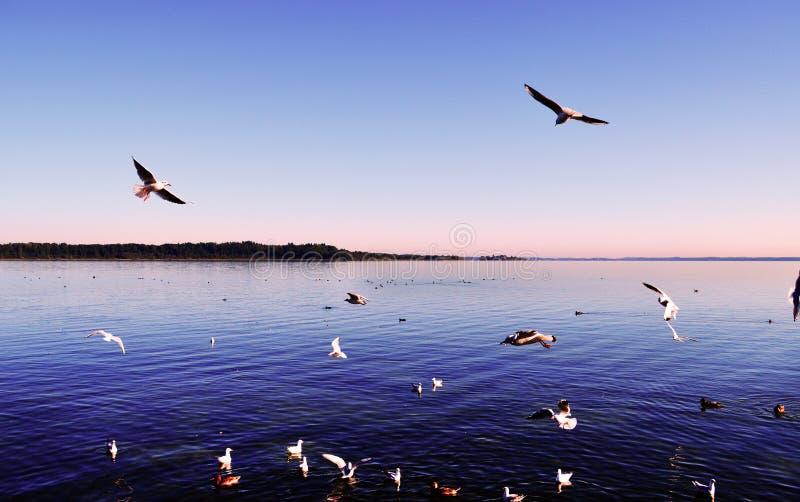 Gaivotas que voam no céu sobre o lago imagem de stock
