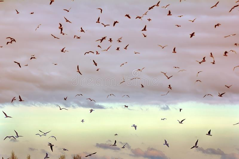 Gaivotas que voam no por do sol imagens de stock