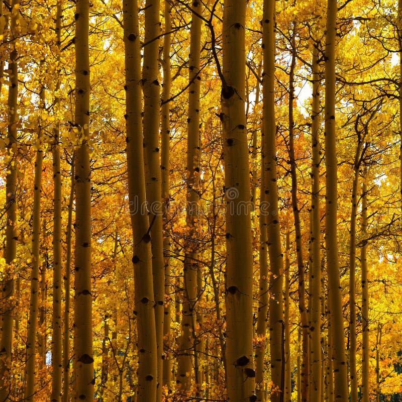 Gaj żółci drzewa fotografia royalty free