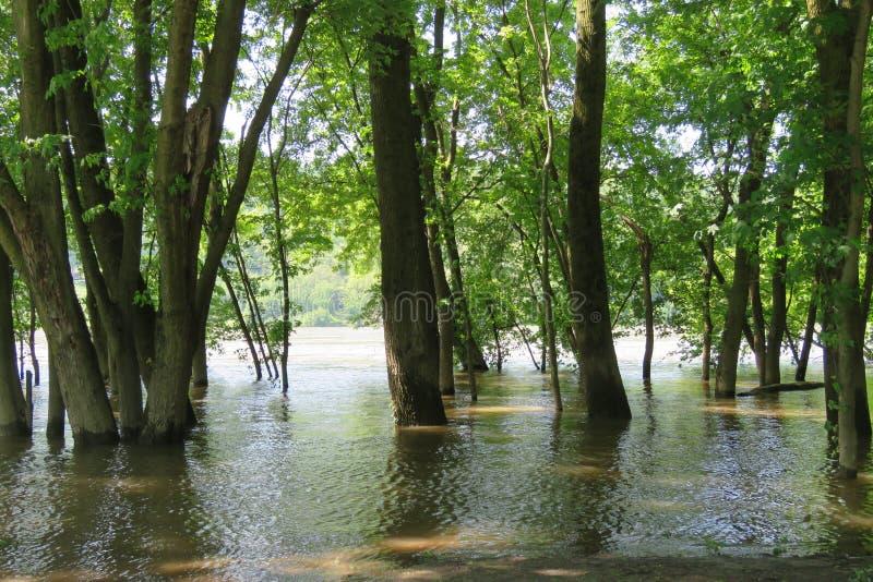 Gaj drzewa w zalewającej rzece fotografia stock