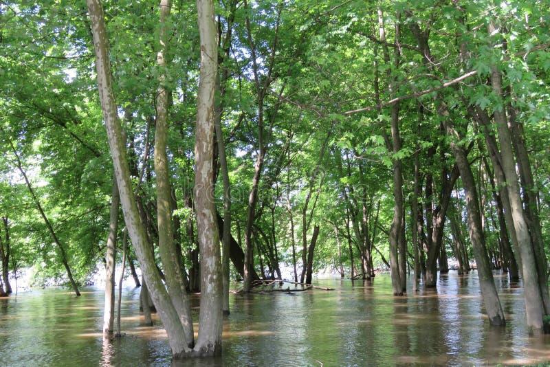 Gaj drzewa w zalewającej rzece obraz royalty free