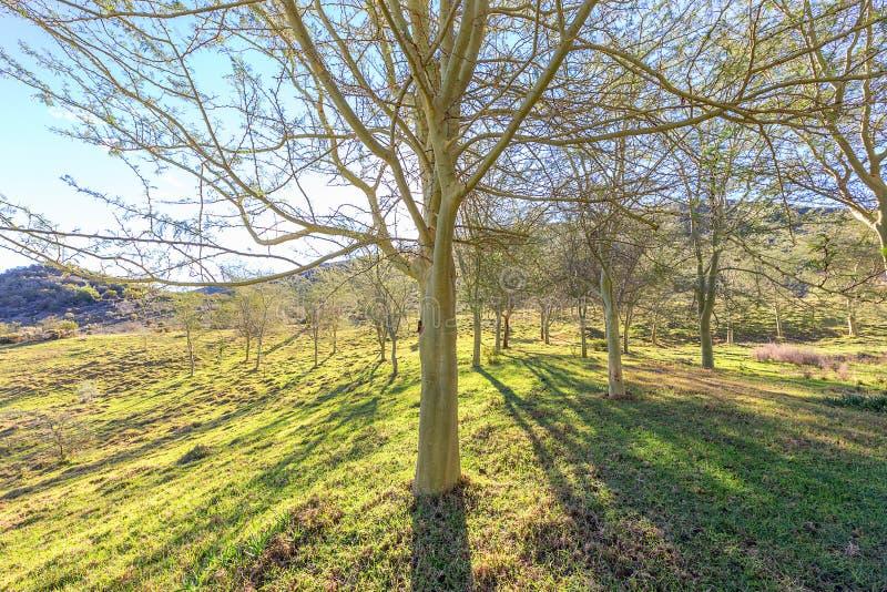 Gaj gorączkowi drzewa przeciw backlight słońce obraz stock