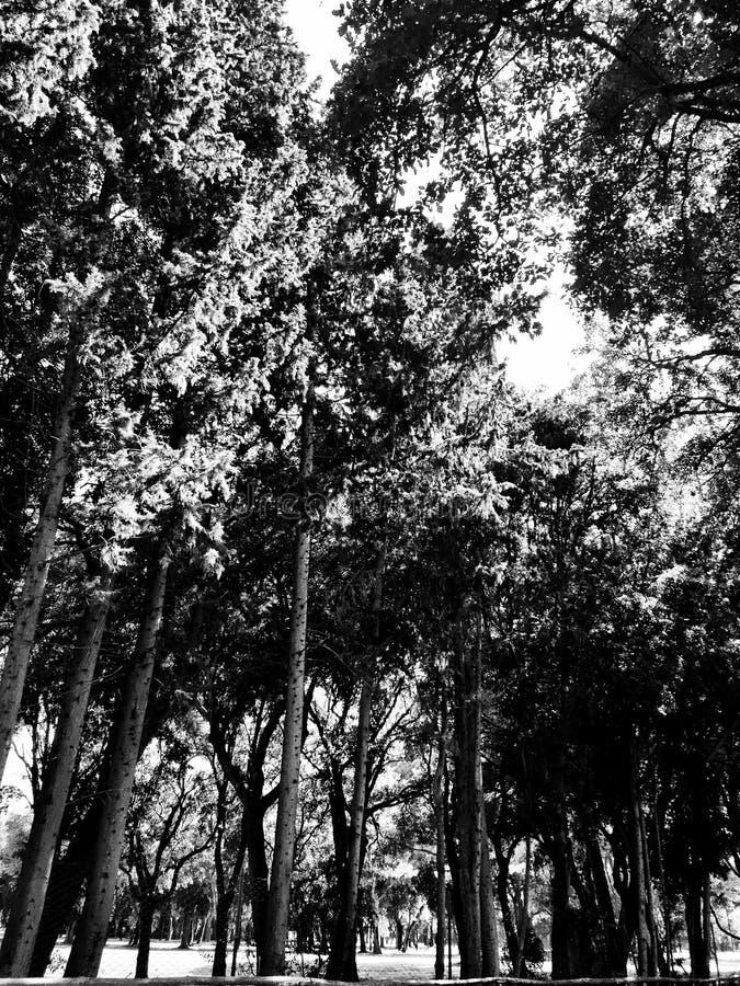 Download Gaj Obfitolistni Wysocy Drzewa Zdjęcie Stock - Obraz złożonej z drzewa, kończyny: 57651236