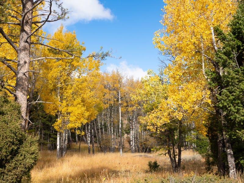 Gaj Osikowi drzewa w jesieni zdjęcia royalty free
