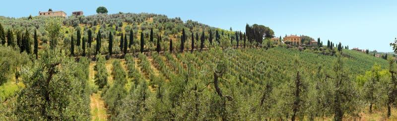 Gajki oliwne w Chianti fotografia stock