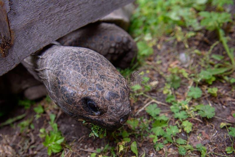 Galápagos Tortoise eet gras, tijdens het 19e jaarlijkse wegingsevenement van Galápagos Tortoises in de dierentuin van Riga royalty-vrije stock fotografie