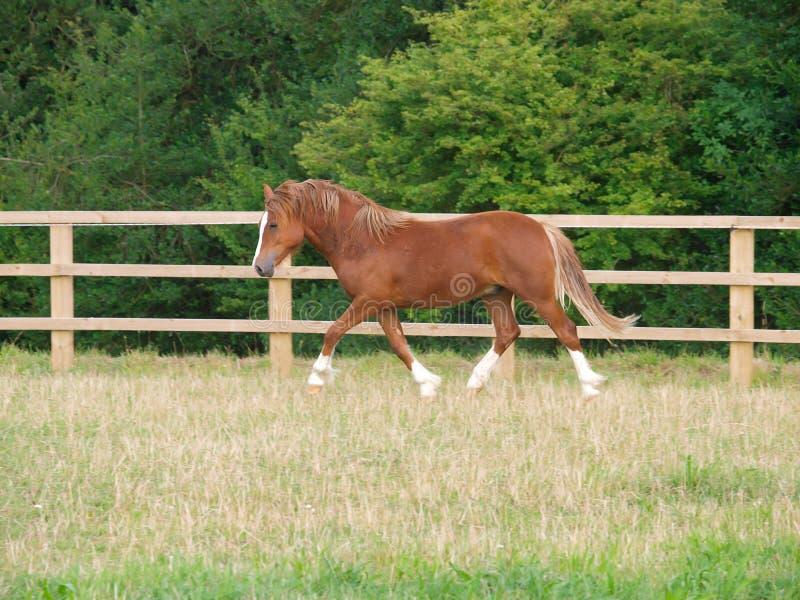 Galês Pony Trotting fotografia de stock royalty free