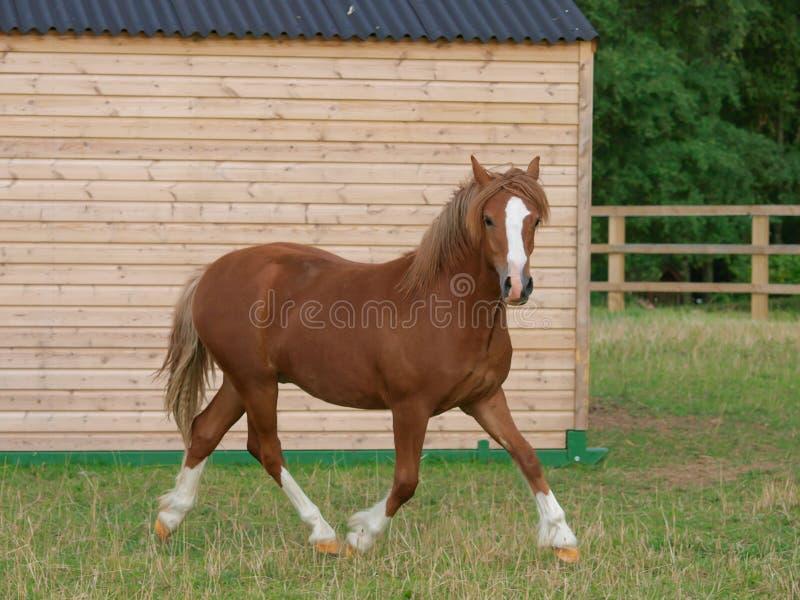 Galês Pony Trotting fotos de stock