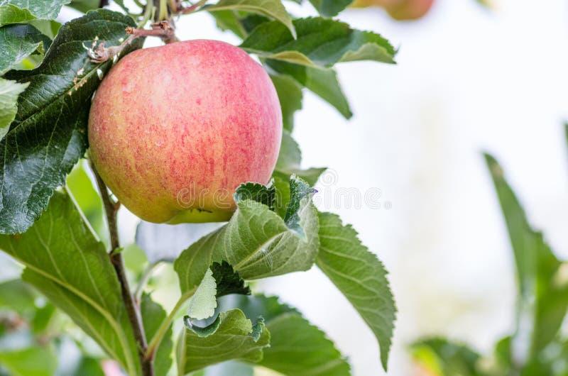 Galaäpple i äpplefruktträdgården arkivbild