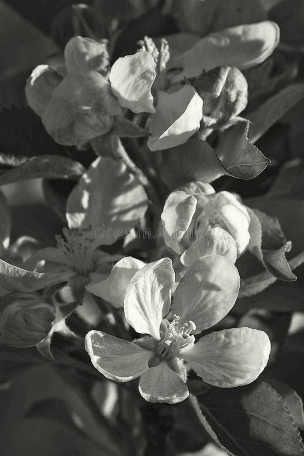 Gala Apple Blossoms - pumila de Malus dans des tons de sépia image libre de droits