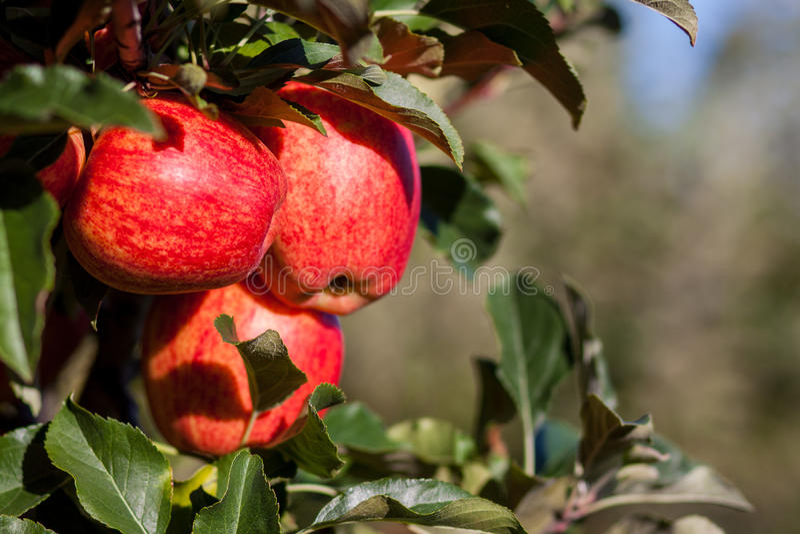 Gala Apples real fotografia de stock royalty free