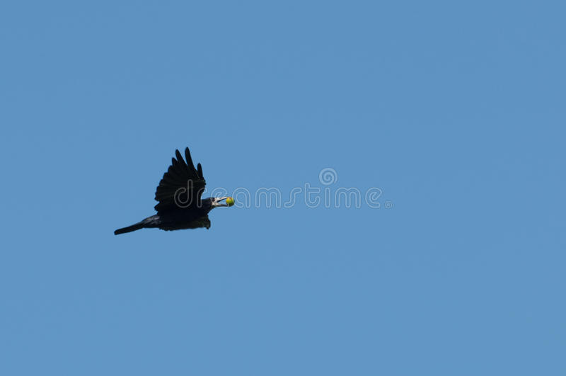 Gala flyget med en frukt i hans näbb royaltyfri fotografi