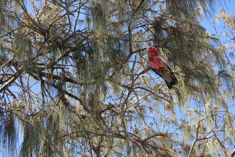 Galah łasowania Ptasia owoc od drzewa zdjęcia royalty free