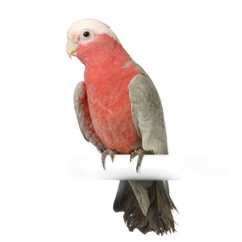 Download Galah stock image. Image of noisy, studio, portrait, avian - 2314415