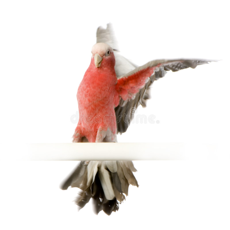 Download Galah stock photo. Image of beak, animal, cockatoo, background - 2314416