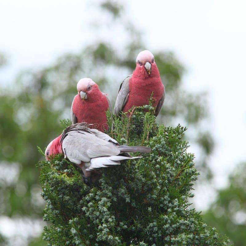 Galah cockatoos eating stock photos