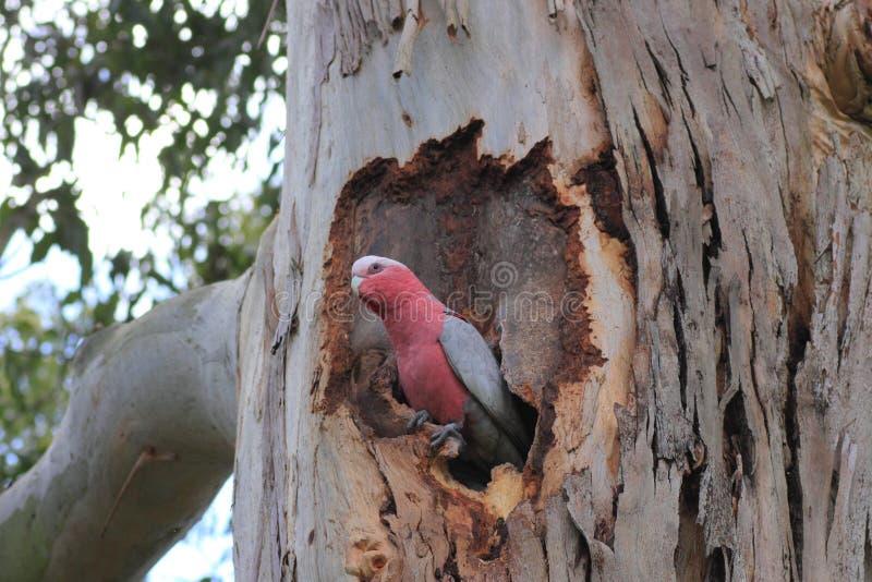 Galah, das Nest schützt stockfotos