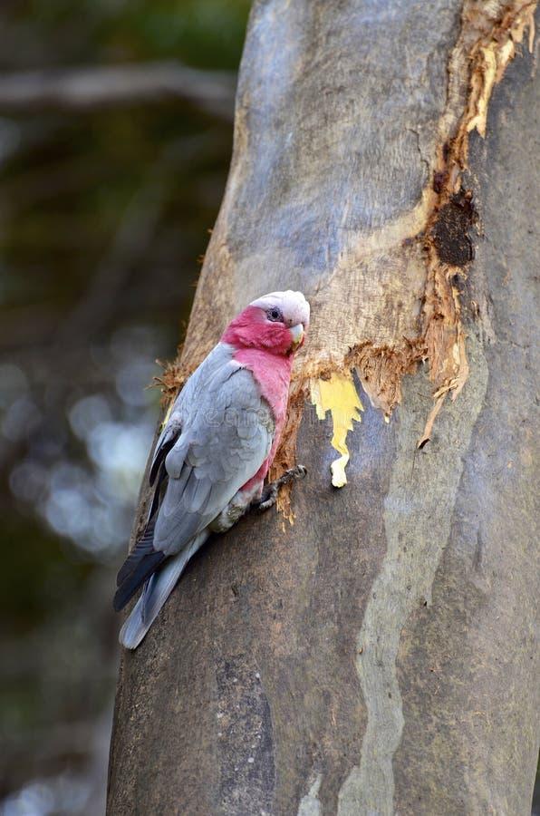 Galah empoleirou-se em uma árvore na ilha do canguru imagem de stock