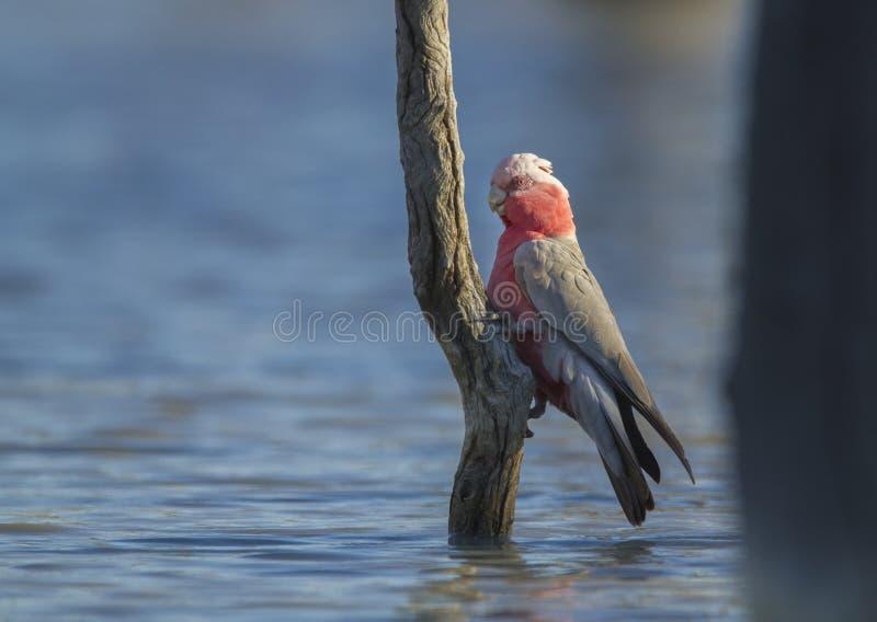 Galah empoleirou-se na árvore no pantanal imagens de stock
