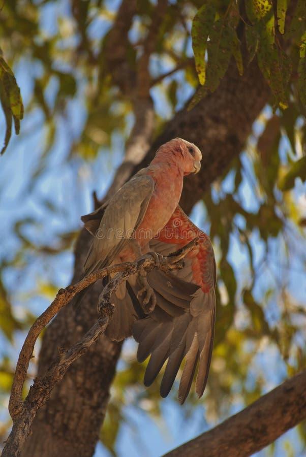 Galah parrot, Australia