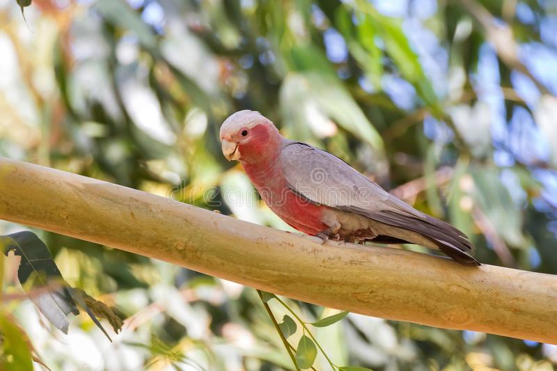 Male Galah pink gray bird, Rose-breasted Cockatoo Cockie perch. Galah pink gray bird with bare eye rings, male Rose-breasted Cockatoo Cockie perching on branch royalty free stock photo