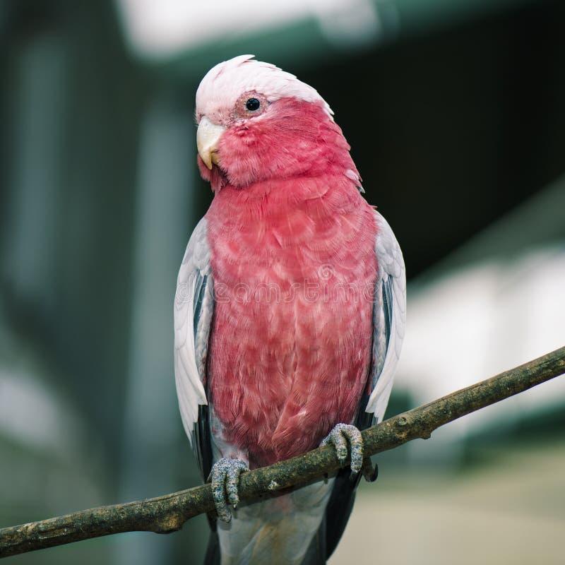Galah rosado y gris grande imagen de archivo libre de regalías