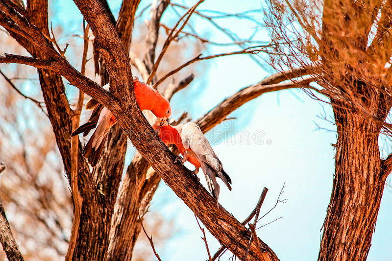 Galahs foto de stock royalty free
