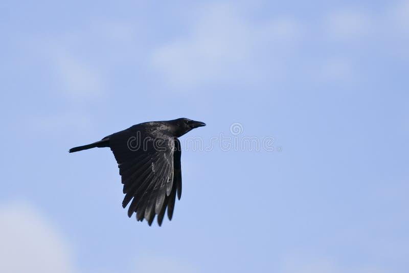 galandeflyg fotografering för bildbyråer