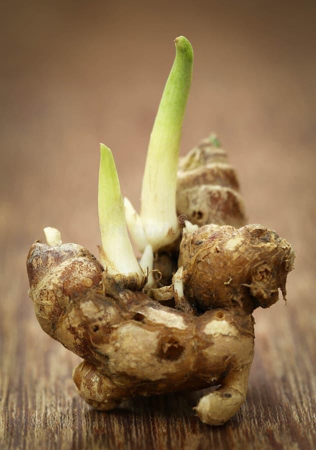 Galanga de Kaempferia connu sous le nom de gingembre aromatique image libre de droits