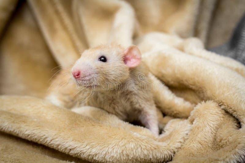 Galanteryjny zwierzę domowe szczur obrazy stock