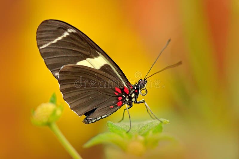 Galanthus do cydno de Heliconius da borboleta, no habitat da natureza Inseto agradável de Costa Rica na borboleta verde da flores fotos de stock royalty free