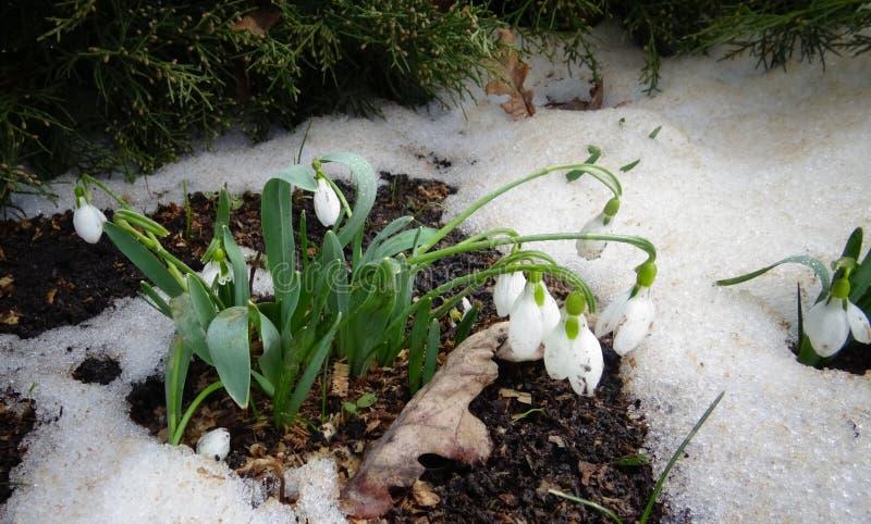 Galanthus elwesii Elwes ` s śnieżyczka, wielka śnieżyczka obrazy stock