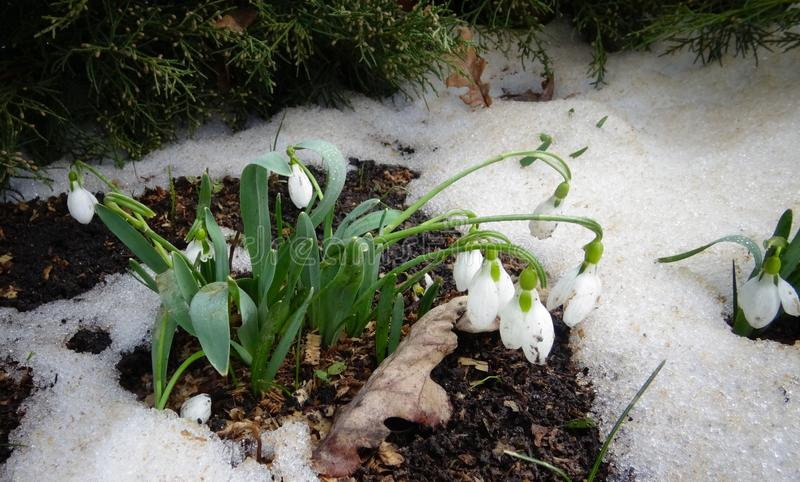 Galanthus elwesii Elwes`s snowdrop, greater snowdrop stock images