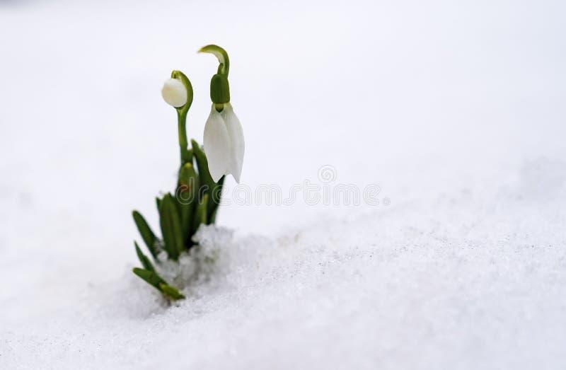 Galanthus för snödroppar för vårblommor vita nivalis arkivfoton