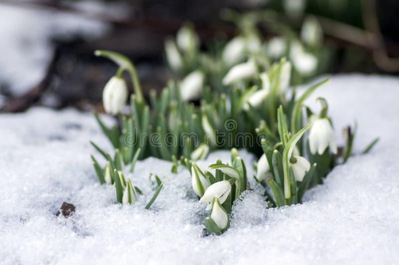 Galanthus-nivalis, allgemeines Schneeglöckchen in der Blüte, Vorfrühlingsknollenblumen im Garten stockfotos