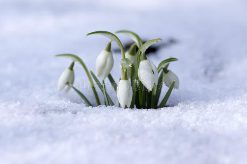 Galanthus-nivalis, allgemeines Schneeglöckchen in der Blüte, Vorfrühlingsknollenblumen im Garten stockbild