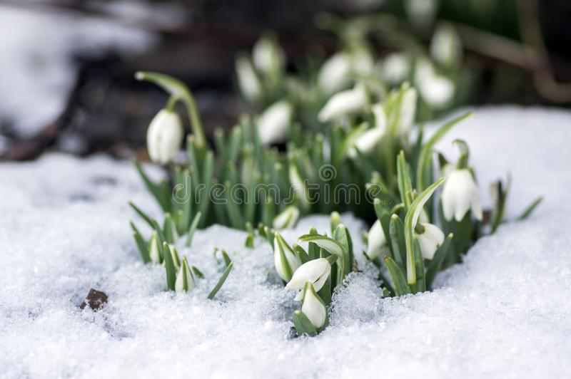 Galanthus nivalis, common snowdrop in bloom, early spring bulbous flowers in the garden. Growing in the snow, late winter early spring stock photos