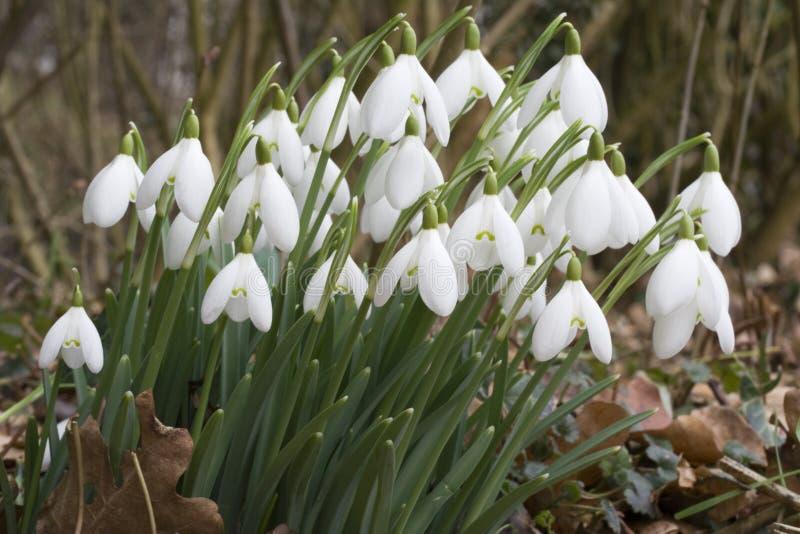 Galanthus nivalis - Snowdrops arkivbild