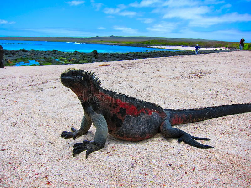 Galapagos öar Marine Iguana royaltyfri bild